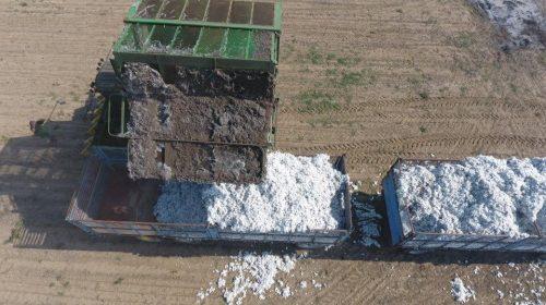 Cotton-Cultivation_2